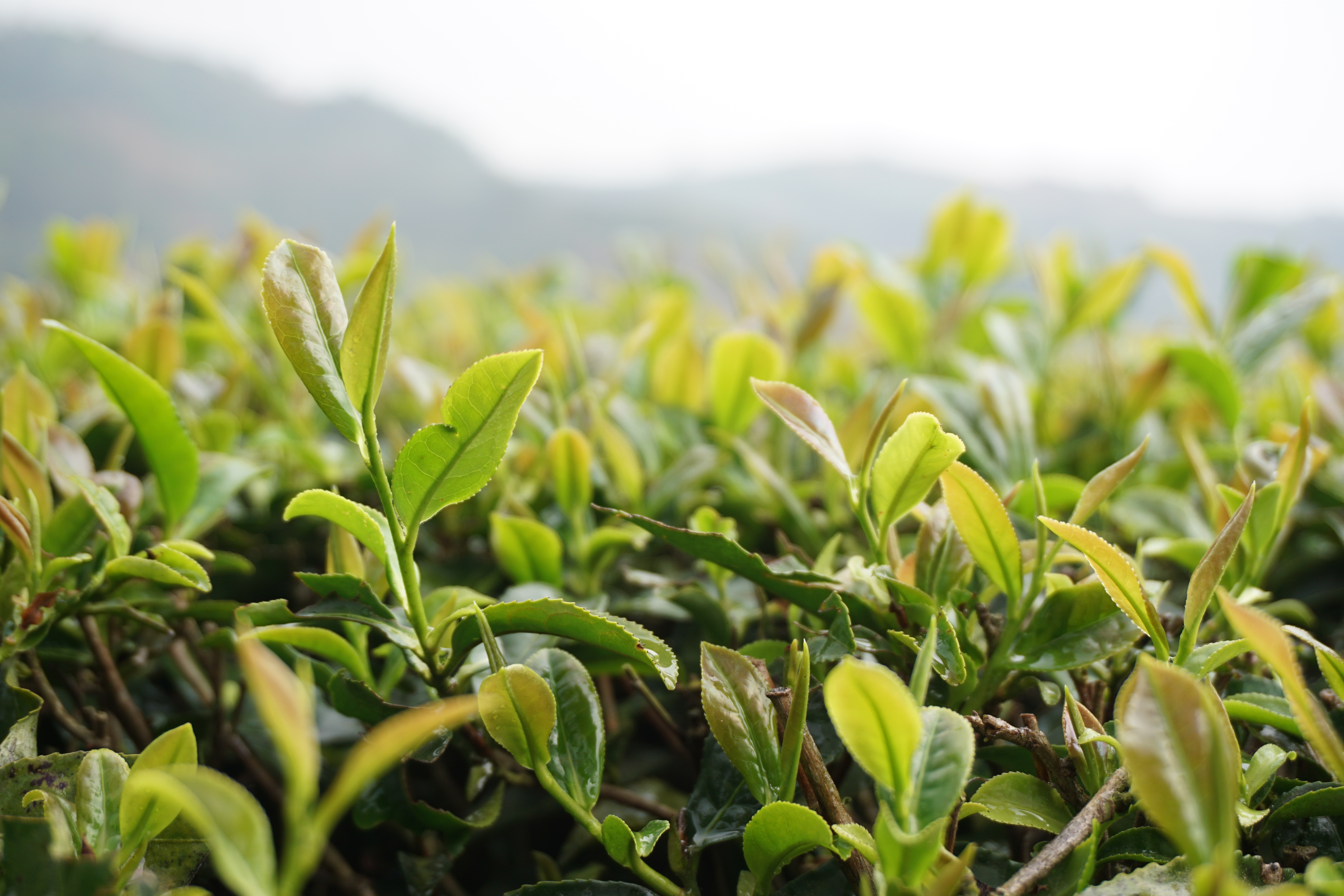 grass-branch-growth-plant-lawn-tea-590701-pxhere.com.jpg